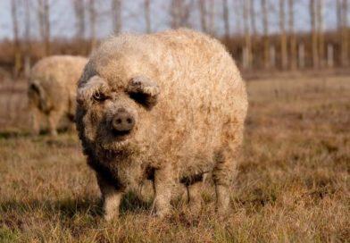 A magyar állattenyésztésnek nagy lehetősége a mangalica fajta