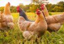 Kétmilliárd forint támogatásra pályázhatnak a baromfi- és sertéstenyésztők